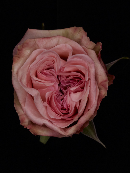 Roses – fond noir (c) PHILIPPE LACOMBE
